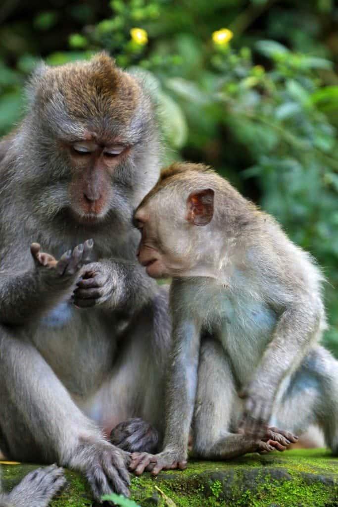 Two monkeys at Ubud Monkey Forest
