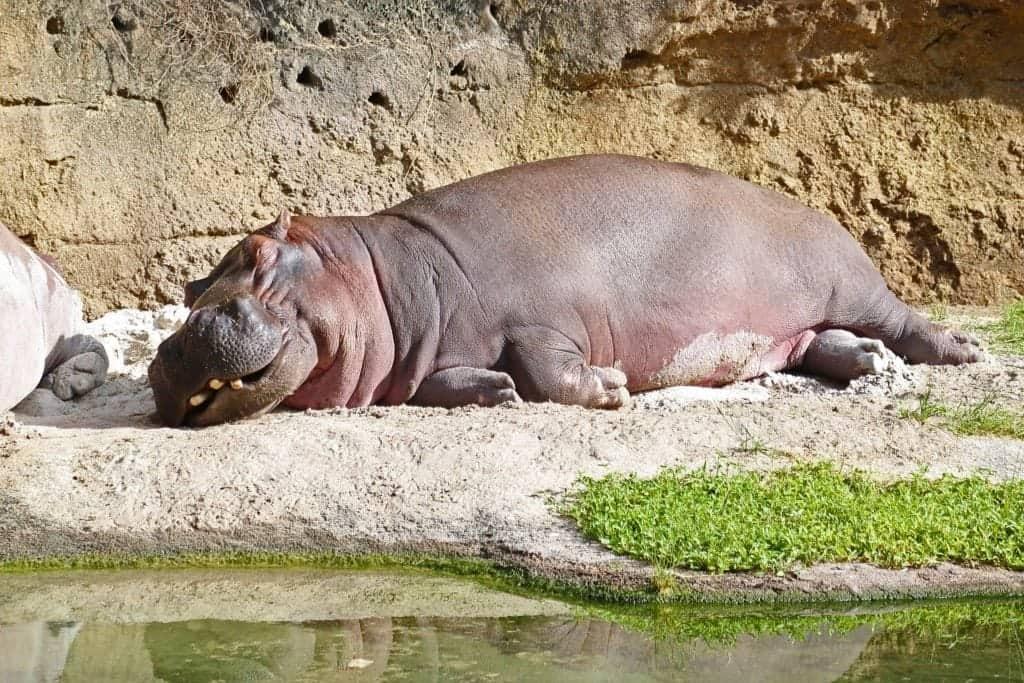 Hippo resting at Disney Animal Kingdom
