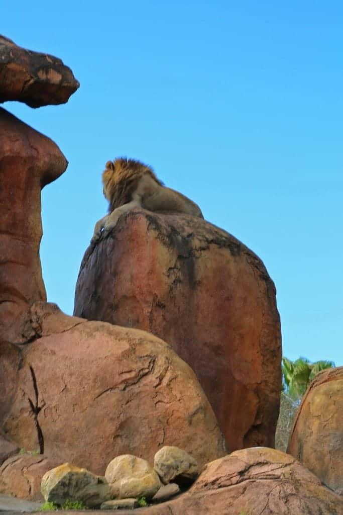 Lion at Disney Animal Kingdom