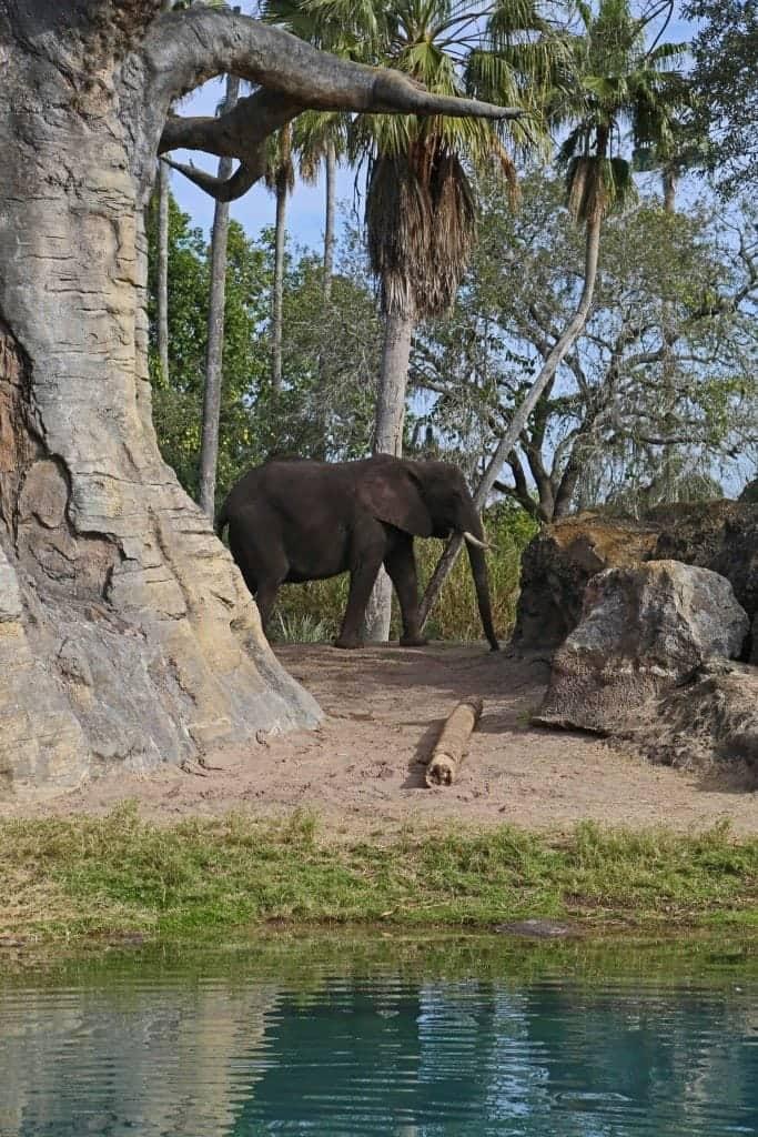 elephant walking in Disney Animal Kingdom