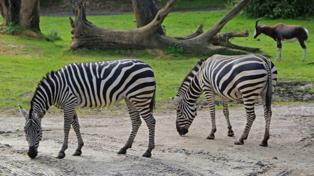 zebras at Disney Animal Kingdom