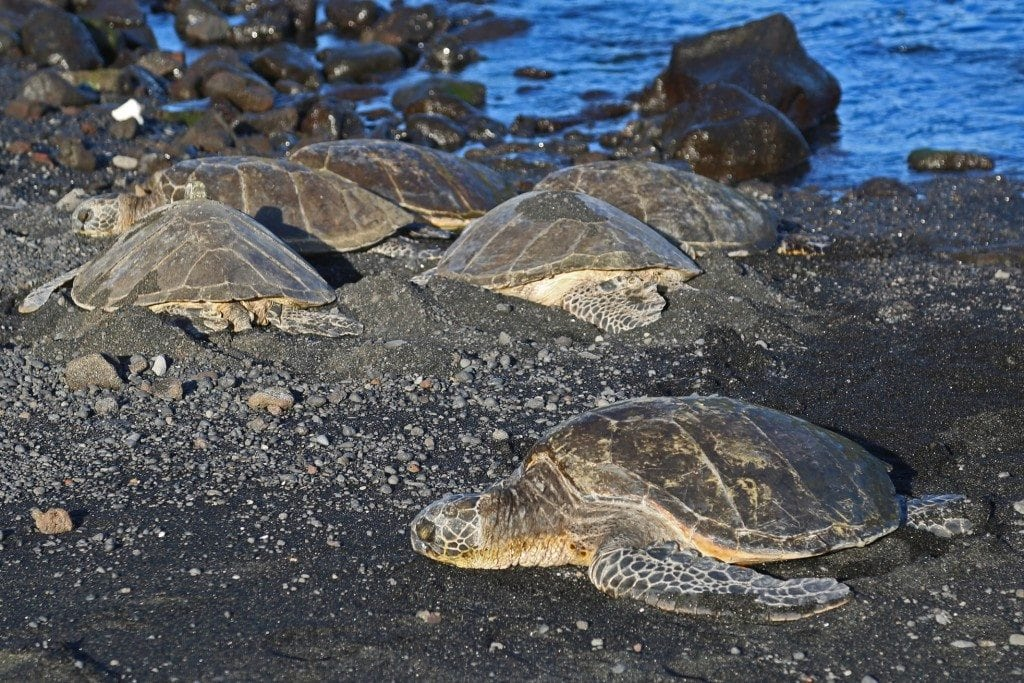 Turtles on the black Sand beach in Hawaii