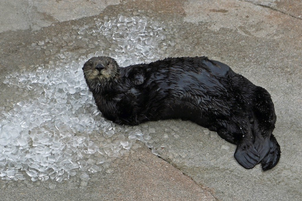 Otter playing with Ice at Monterey Bay Aquarium