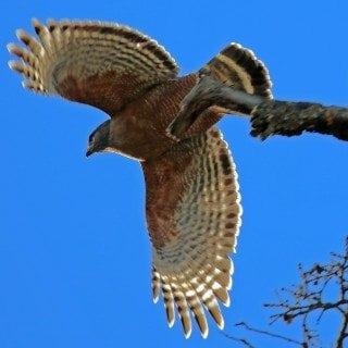 Red Shouldered Hawk at Pinnacles National Park