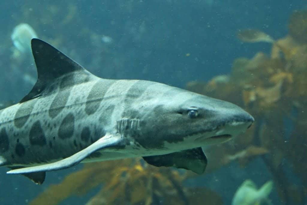 Shark at Monterey Bay Aquarium
