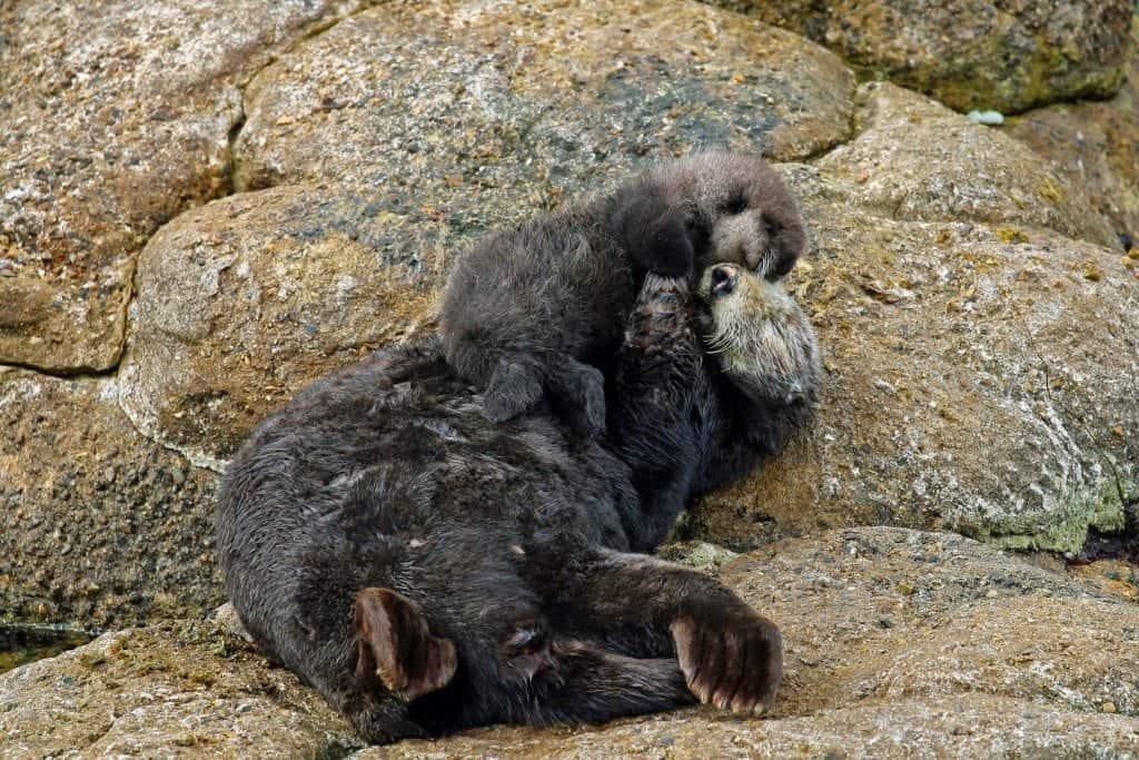 moma and baby otter at Monterey Bay Aquarium