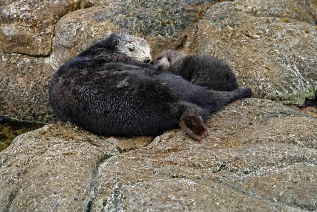 moma and baby otter at the Monterey Bay Aquarium
