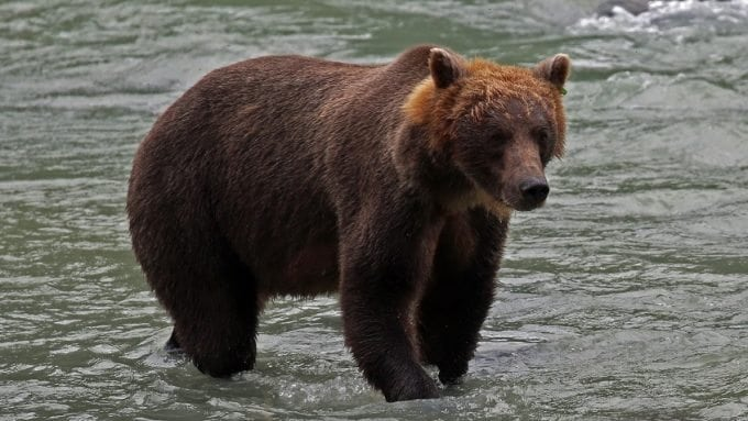 Brown Bear in river Haines Alaska