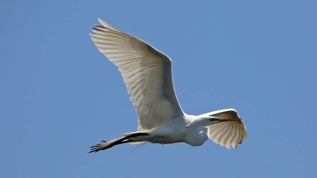 Egret at Grosse Savvane