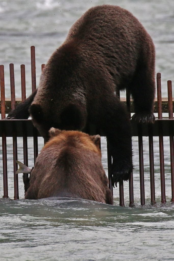 Two Bears fishing on Weir in Haines Alaska
