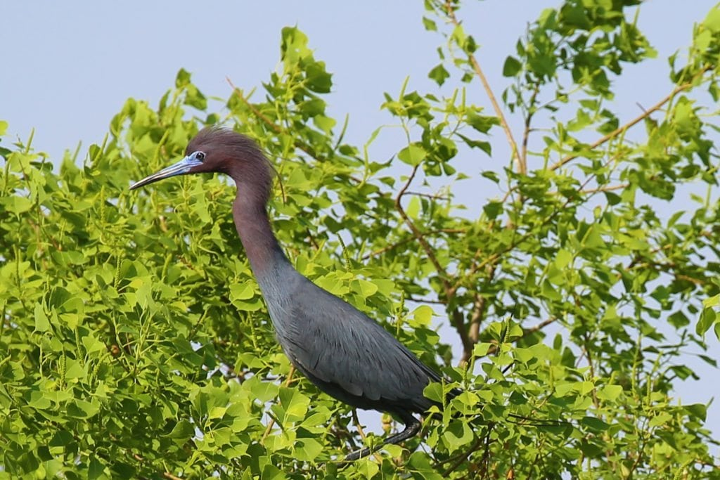 bird in tree Grosse Savvane
