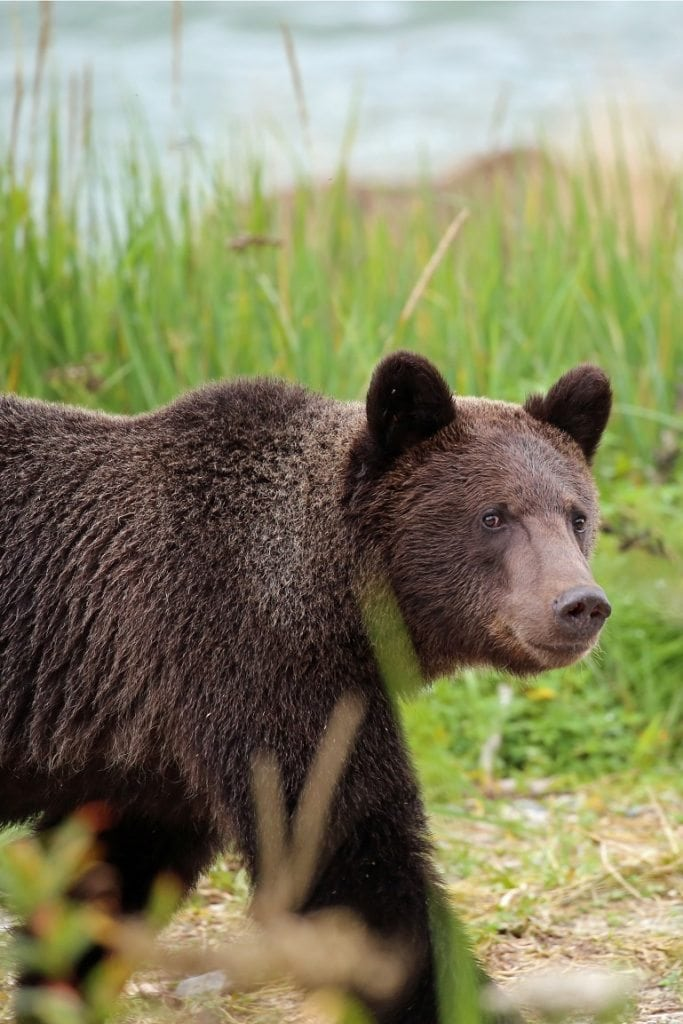 close to a brown bear in Haines Alaska