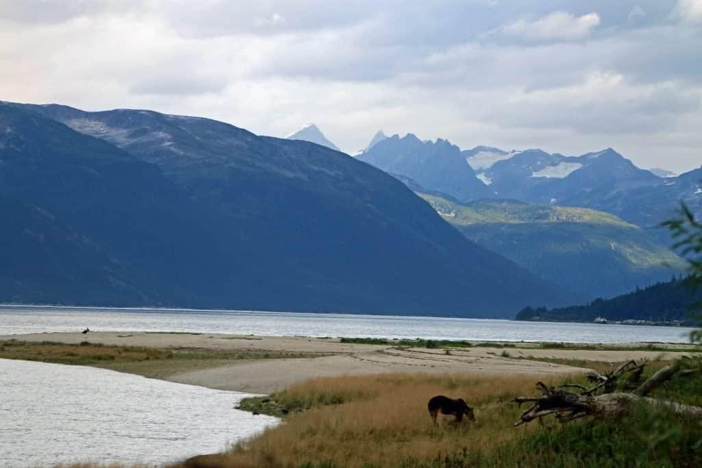 Bear in Haines, Alaska