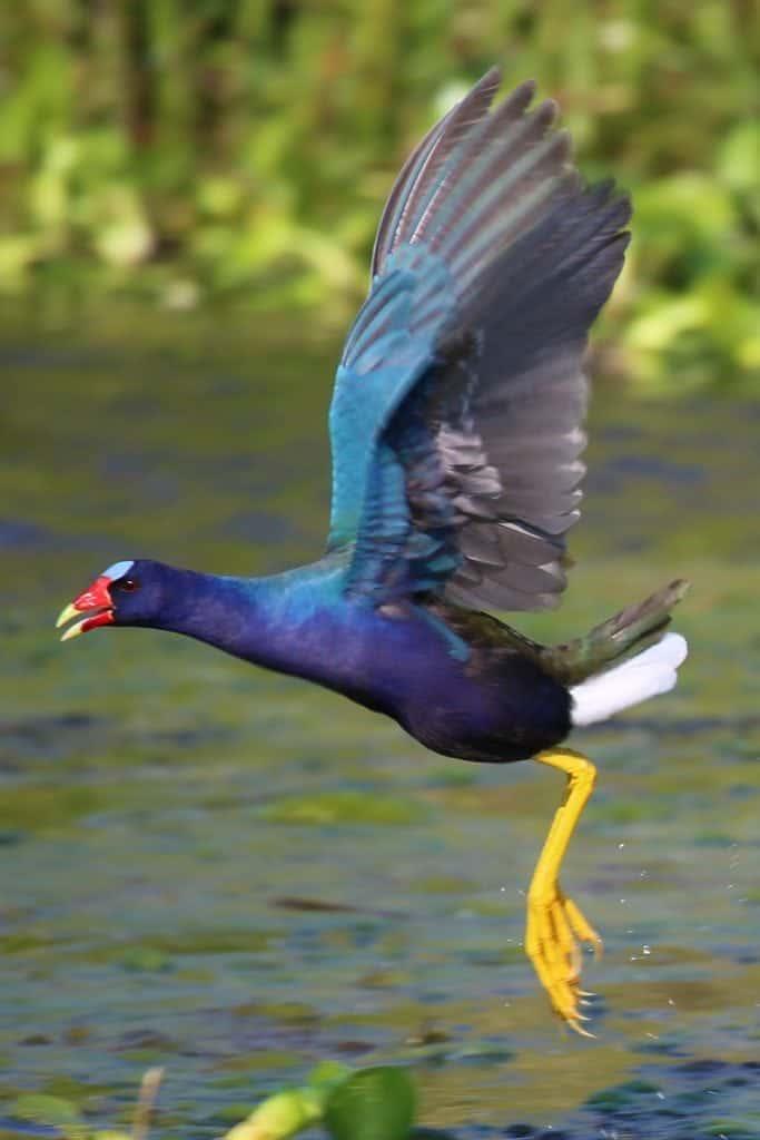 purple gallinule in flight Grosse Savvane