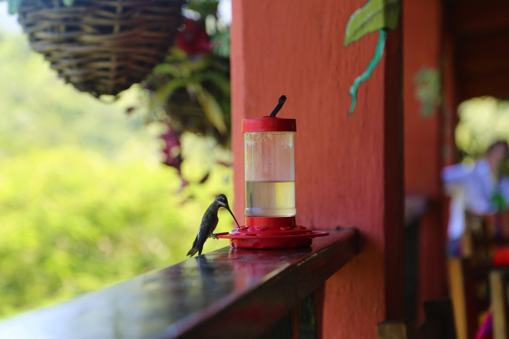 hummingbird-in-the-puerto-vallarta-botanical-garden